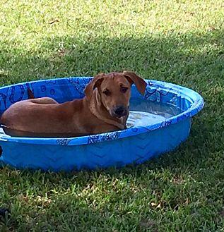 Hound (Unknown Type) Mix Puppy for adoption in Beaumont, Texas - SIERRA