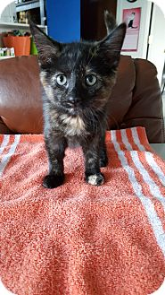 Domestic Shorthair Kitten for adoption in Danville, Indiana - Starla