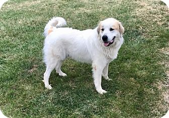 Great Pyrenees Dog for adoption in Tulsa, Oklahoma - Murray *Adopted