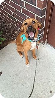 Boxer Mix Dog for adoption in West Allis, Wisconsin - Gracie **Courtesy Cupid**