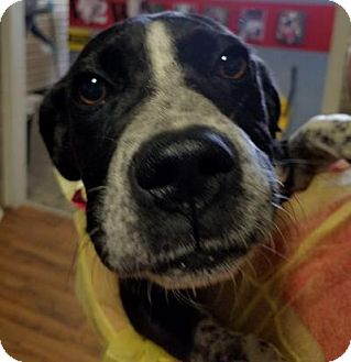 German Shorthaired Pointer Mix Dog for adoption in Plainfield, Illinois - Allie