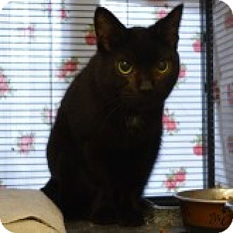 Domestic Shorthair Cat for adoption in Barrie, Ontario - Curly