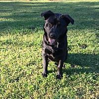 Adopt A Pet :: Loki - Southbury, CT