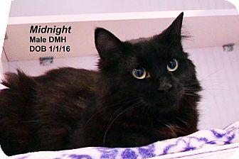 Domestic Mediumhair Cat for adoption in Lincoln, Nebraska - Midnight