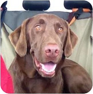 Labrador Retriever Dog for adoption in Denton, Texas - Wriggley