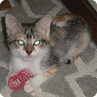 Domestic Shorthair Kitten for adoption in Hot Springs, Arkansas - Shelly