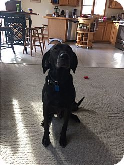 German Shorthaired Pointer/Labrador Retriever Mix Dog for adoption in Ypsilanti, Michigan - Louie