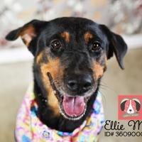 Adopt A Pet :: Ellie May* - Lonely Heart - Gulfport, MS
