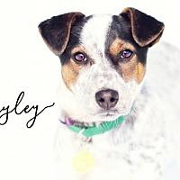 Adopt A Pet :: Hayley - Joliet, IL