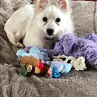 Adopt A Pet :: Roxie - Beachwood, OH
