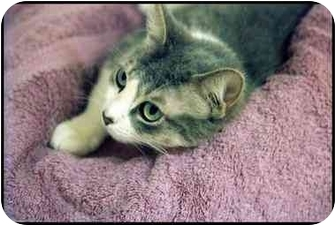 Domestic Shorthair Cat for adoption in Macon, Georgia - Gray