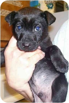 Terrier (Unknown Type, Small) Mix Puppy for adoption in Osceola, Arkansas - Romeo