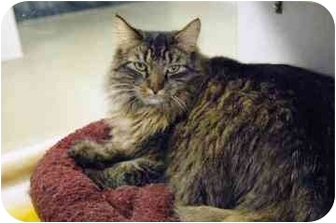 Maine Coon Cat for adoption in Walker, Michigan - Shadow