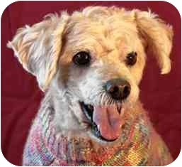 Poodle (Miniature) Dog for adoption in Osseo, Minnesota - Butterscotch