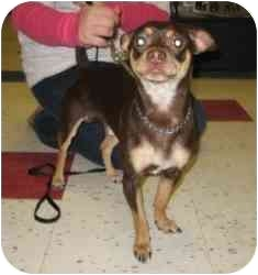 Chihuahua/Miniature Pinscher Mix Dog for adoption in Raritan, New Jersey - Gymmi