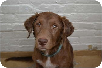 Retriever (Unknown Type) Mix Puppy for adoption in Chicago, Illinois - Vicky