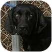 Labrador Retriever Mix Dog for adoption in Toronto, Ontario - Jenny