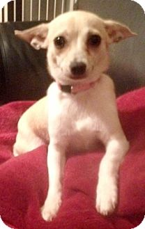 Chihuahua Mix Dog for adoption in Richmond, Virginia - Lala