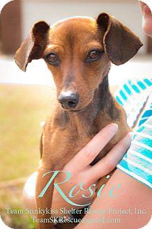 Dachshund/Chihuahua Mix Puppy for adoption in Aiken, South Carolina - Rosie
