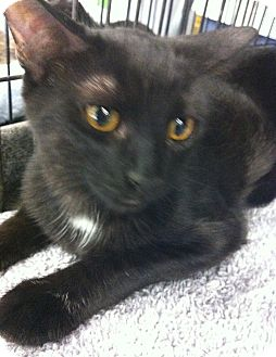 Bombay Cat for adoption in Riverside, California - Choco Kitty