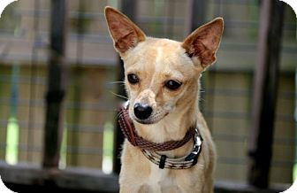 Chihuahua Dog for adoption in Hampton, Virginia - Danny