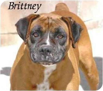 Boxer Dog for adoption in Encino, California - Brittney