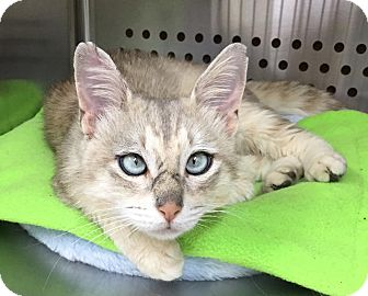Domestic Shorthair Cat for adoption in Mansfield, Texas - Newman