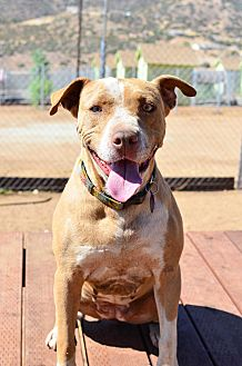 American Staffordshire Terrier/Pit Bull Terrier Mix Dog for adoption in Acton, California - Yummy