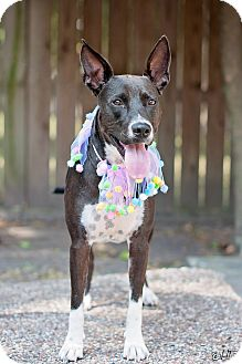 Pharaoh Hound/Pit Bull Terrier Mix Dog for adoption in Seattle, Washington - Roxy - Joyful and loving girl!