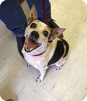 Jack Russell Terrier/Rat Terrier Mix Dog for adoption in Austin, Texas - Precious In Kerrville, Texas