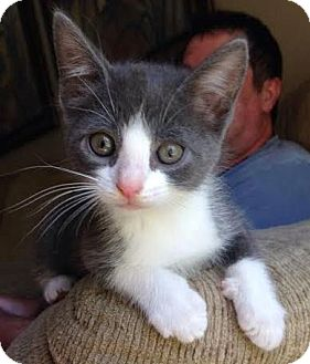 Domestic Shorthair Kitten for adoption in Walworth, New York - Peppy