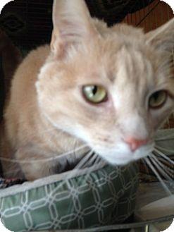 Domestic Shorthair Cat for adoption in Divide, Colorado - Dewie