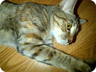 Domestic Shorthair Kitten for adoption in Concord, North Carolina - Jessa