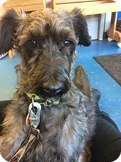 Schnauzer (Miniature)/Poodle (Miniature) Mix Dog for adoption in Nanuet, New York - Benji