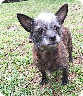 Cairn Terrier Mix Dog for adoption in Boca Raton, Florida - Angelica