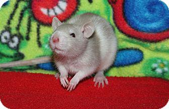 Rat for adoption in Austin, Texas - Cashew