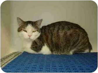 Domestic Shorthair Cat for adoption in Overland Park, Kansas - Raz