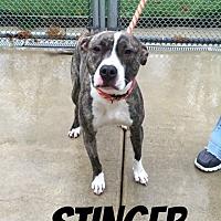 Adopt A Pet :: Stinger - Fremont, MI