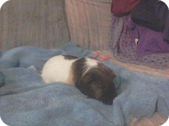 Guinea Pig for adoption in DeLand, Florida - Piggie Smalls