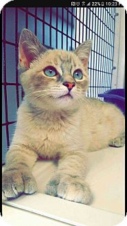 Siamese Kitten for adoption in yuba city, California - Tai