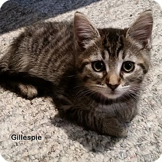Domestic Shorthair Kitten for adoption in Portland, Oregon - Gillespie
