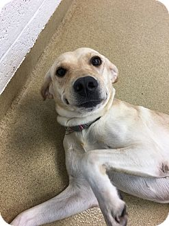 Labrador Retriever Mix Dog for adoption in Miami, Florida - Honey