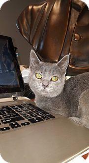Russian Blue Kitten for adoption in Albemarle, North Carolina - Rosalynn Carter