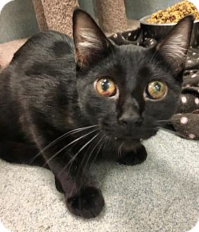 Domestic Shorthair Cat for adoption in St. Louis, Missouri - Buscemi
