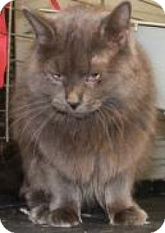 Domestic Longhair Cat for adoption in Yukon, Oklahoma - Glenda/Violet