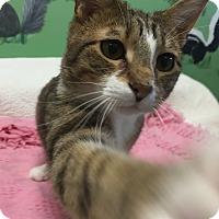 Domestic Shorthair Cat for adoption in Tioga, Pennsylvania - JR