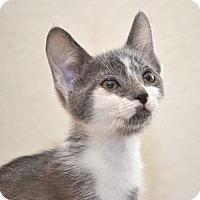 Domestic Shorthair Kitten for adoption in Davis, California - Puzzle