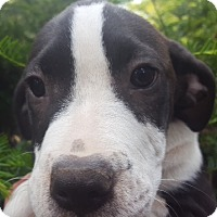 Adopt A Pet :: Celeste - Medora, IN