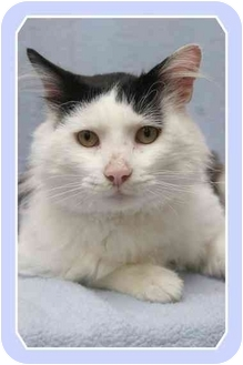 Domestic Mediumhair Cat for adoption in Sterling Heights, Michigan - Gonzo - ADOPTED!