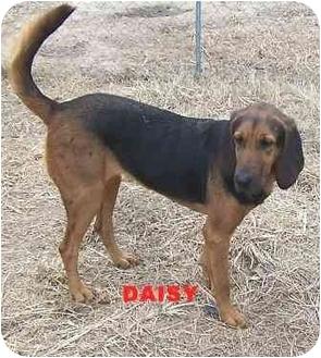 Bloodhound Dog for adoption in Carrollton, Georgia - Daisy